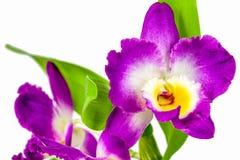 Violette orchideebloem royalty-vrije stock foto's