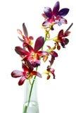 Violette Orchideen auf weißem Hintergrund Lizenzfreie Stockfotos