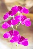 Violette Orchideen, Orchideenpurpur, Orchideen ist von der Natur bunt Stockbild