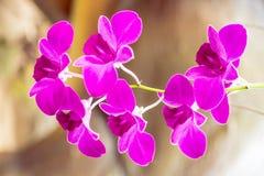 Violette Orchideen, Orchideenpurpur, Orchideen ist von der Natur bunt Lizenzfreie Stockfotos