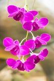 Violette Orchideen, Orchideenpurpur, Orchideen ist von der Natur bunt Stockfotos