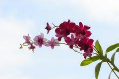 Violette Orchideenblume auf Himmelhintergrund Lizenzfreie Stockfotografie