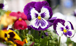 Violette Pansies Stockfotos