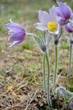 Violette pasque Blumen [Pulsatilla] Lizenzfreies Stockbild