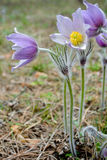 Violette pasquebloemen [Pulsatilla] Royalty-vrije Stock Afbeelding