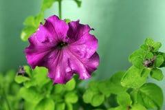 Violette Petunie, die unter Tropfen und Grünblättern blüht Stockfoto