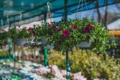 Violette Petunienblumen, die in Töpfe hängen lizenzfreie stockfotografie