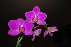 Violette philaenopsis Blumen Lizenzfreie Stockfotos