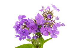 Violette Phloxen Royalty-vrije Stock Afbeelding