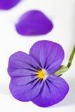Violette pourprée Photo libre de droits