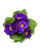 Violette primula Stock Foto's