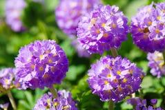 Violette primulabloemen in de tuin Royalty-vrije Stock Foto's