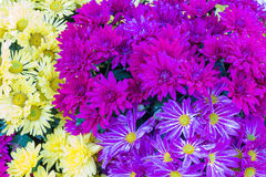 Violette, purpere en gele asterbloem Stock Foto's