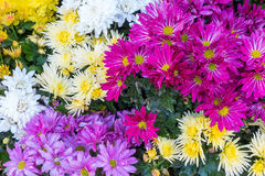 Violette, purpere en gele asterbloem Royalty-vrije Stock Afbeeldingen