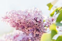 Violette purpurrote Zweige des schönen Geruchs der lila Zeit der Blütenblumen im Frühjahr stockfotos