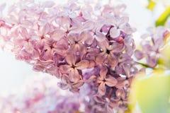 Violette purpurrote Zweige des schönen Geruchs der lila Zeit der Blütenblumen im Frühjahr lizenzfreie stockfotos