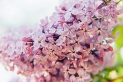 Violette purpurrote Zweige des schönen Geruchs der lila Zeit der Blütenblumen im Frühjahr lizenzfreie stockfotografie