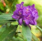 Violette rododendronbloemen op een vage achtergrond Royalty-vrije Stock Foto