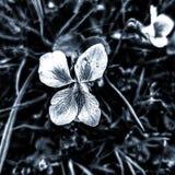 Violette Schwarzweiss-Blume stockbilder