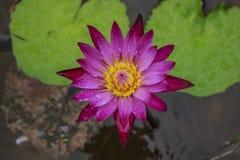 Violette Seerose auf grünem Blatt Lizenzfreies Stockbild
