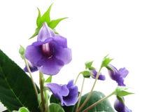 Violette sinningia Stock Afbeeldingen