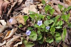 Violette struik Royalty-vrije Stock Fotografie