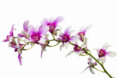 Violette thailändische Orchideen auf Isolat. Lizenzfreie Stockbilder