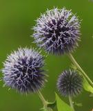 Violette thistebloemen op groene achtergrond Royalty-vrije Stock Afbeeldingen