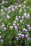 Violette tricolore de champ Photos stock