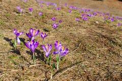 Violette trillende krokussen op een weide Royalty-vrije Stock Foto's