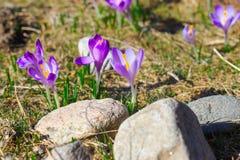 Violette trillende krokussen op een weide Stock Afbeeldingen