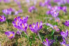 Violette trillende krokussen op een weide Royalty-vrije Stock Afbeeldingen