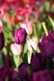 Violette Tulpe Lizenzfreies Stockbild
