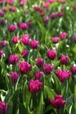 Violette Tulpe Stockfotos