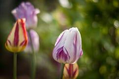 Violette Tulpe, gelbe Tulpe, gelb-rote Tulpe lizenzfreies stockbild