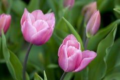 Violette Tulpeblumen in der Blüte Stockfotos