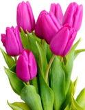 Violette Tulpen Lizenzfreies Stockbild