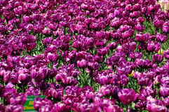 Violette tulpen royalty-vrije stock foto's