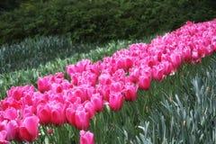 Violette Tulpen auf dem Blumengebiet lizenzfreies stockfoto