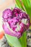 Violette und weiße Blume der lodernden Papageientulpe, Abschluss oben Stockfotos