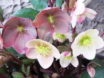 Violette und weiße Blumen nach Regen-oben Abschluss lizenzfreies stockfoto