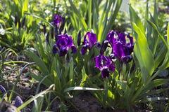 Violette unter Normalgröße liegende Iris blüht im Garten vor dem hintergrund anderer Blumen Lizenzfreie Stockbilder