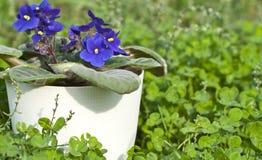 Violette Viola blüht in einem weißen Potenziometer auf Grün Stockfotos