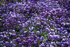 Violette Viola-Blumen Lizenzfreies Stockbild