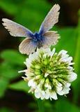 Violette vlinder royalty-vrije stock fotografie