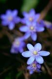 Violette Waldblume Stockfoto