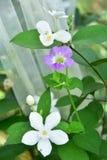 Violette weiße Blumen ANG mit weißem Netz stockfotografie