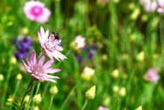 Violette Wiesenblumen auf einem grünen Hintergrund stockbild