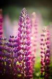 Violette wild wachsende Blumen eines Lupine Stockfotos