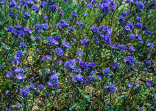 Violette wilde bloem op aardgebied Californië royalty-vrije stock fotografie